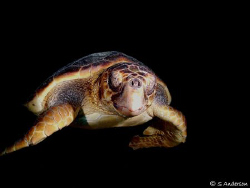Yes , another turtle image. This turtle was resting insid... by Steven Anderson 